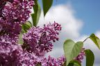 Fragrant purple lilacs against spring sky. - Photo by Lisa Callagher Onizuka