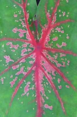 Pink veined leaf.