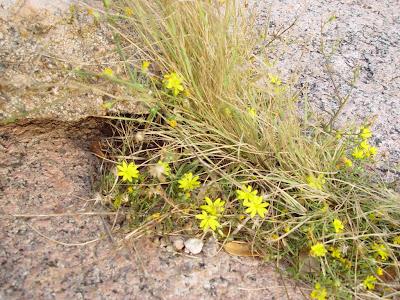 Tiny yellow crevice growing flowers. Enchanted Rock near Fredricksburg, TX.