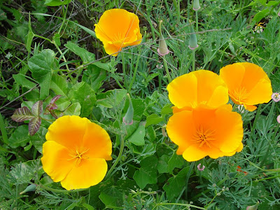 California poppies and poison oak.