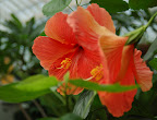 Bright orange hibiscus flowers. San Francisco Conservatory of Flowers. Photo by Lisa Callagher Onizuka