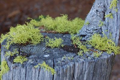 Mossy lichen on gray stump. Photo by Lisa Callagher Onizuka