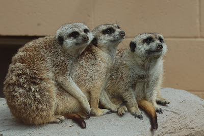 Meercat family snuggling.