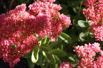 Dappled light on pink flowers. Kalanchoe?