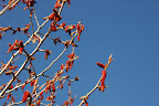 Red catkins, blue sky. Early spring in Boise ID.