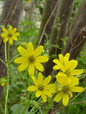 Yellow Texas wildflowers.