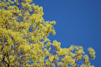 Spring maple against blue blue blue sky. Photo by Lisa Callagher Onizuka