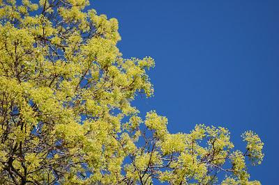 Spring maple against blue blue blue sky. Photo by Lisa Callagher Onizuka