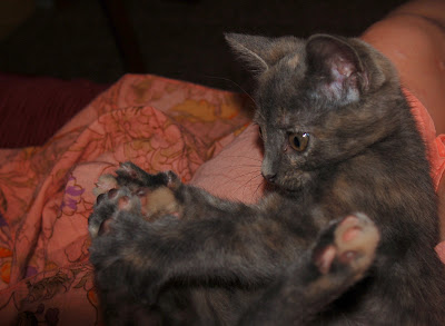 Grey kitten catching her own paws.