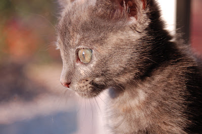 Rosie the curious kitten - looking out a window.