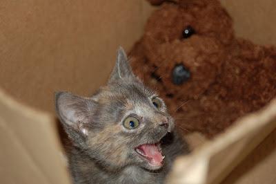 Miaow! Tiny gray kitten.