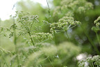 Dill Weed Seed - photo by Molly Callagher