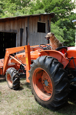Tractor dog.