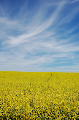 Bright yellow mustard field.