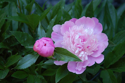 Pink Peony - Photo by Lisa Callagher Onizuka