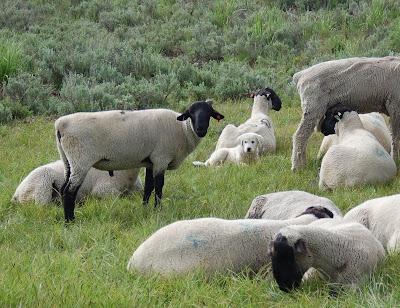 Sheep and sheepdog pup.
