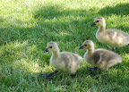 Three fluffy, downy, darling goslings. Boise, ID.