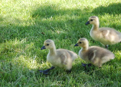 Three fluffy, downy, darling goslings. Boise, ID.