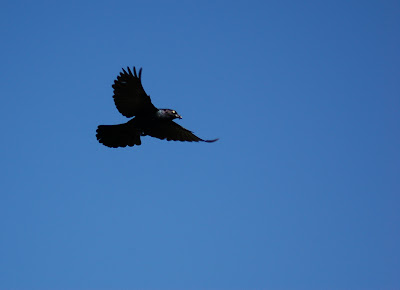 Black starling in flight.