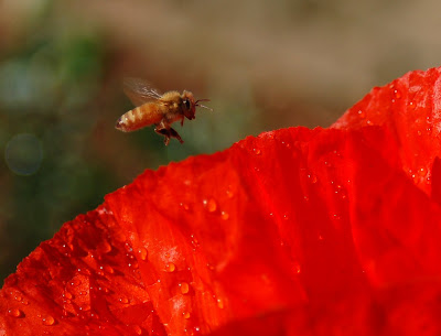 Honey bee hovering over bright red poppy petals.