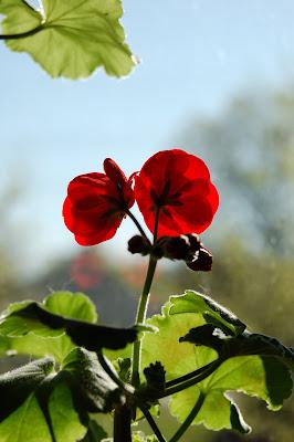 Geranium in the sun.