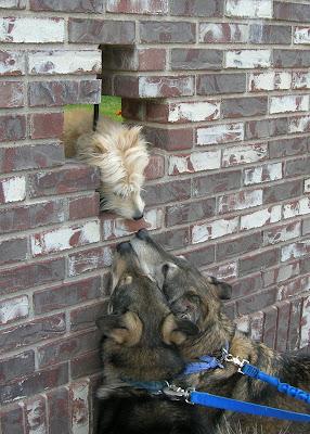 Dogs making friends on a walk.
