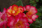 Peachy roses.
