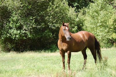 Chestnut horse in pasture.
