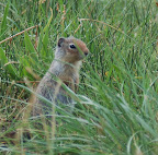 Cute ground squirrel.