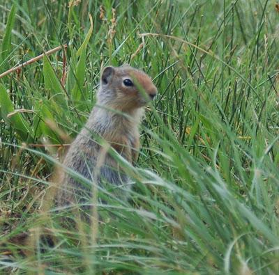 Cute ground squirrel.