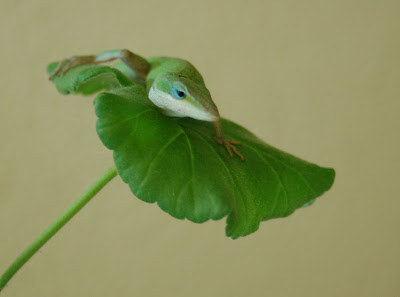 Lizard on a leaf. (Anole, geranium)
