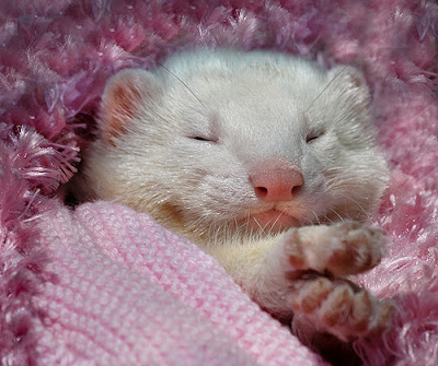 Cozy Ferret. Photo by Lance Leopold. See http://www.redbubble.com/people/lance/works/95249-snoozing-ferret for more.