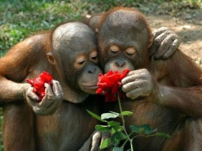 Orangutans smelling the roses.
