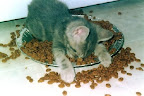 Too tired to eat. Kitten bonked in food bowl.