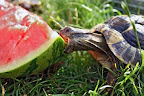 Tortoise enjoys a big tasty watermelon.