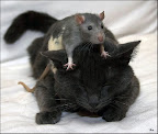 Rat on a cat.