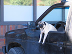 Pug in truck - by Flickr user Zyanthia / Cecilia Mason