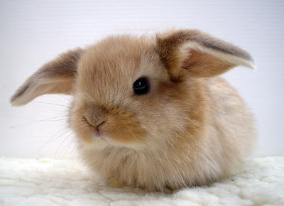 Adorable fluffy baby bunny with airplane ears