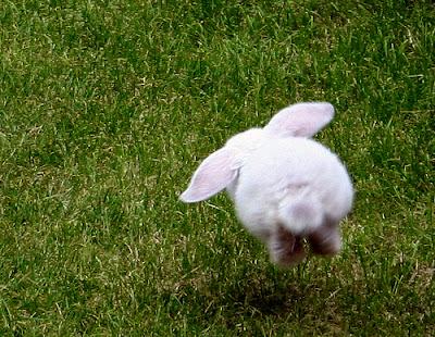 Boing boing boing...sweet white bunny hops. From flickr user elemishra