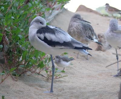 Shorebird settling in for a nap. Monterrey Bay Aquarium.