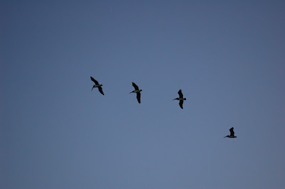 Four pelicans in flight.
