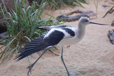 Shorebird stretching a wing.
