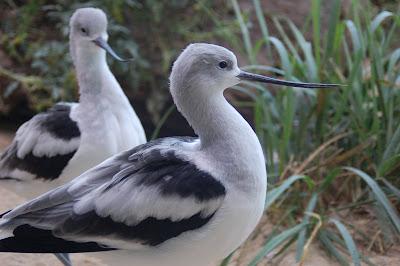 Shorebirds at Monterrey Bay Aquarium.