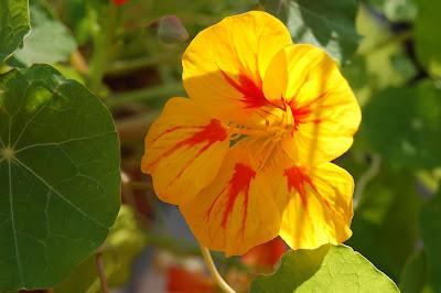 Yellow/Red Nasturtium basking in the sun.