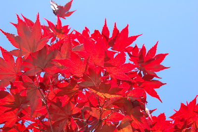 Fire red Japanese maple and blue sky.