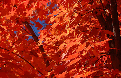 Scarlet maple leaves in the sun.