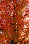 Lovely maple tree turning on for fall.