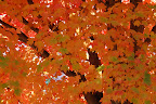 Maple tree turning orange.