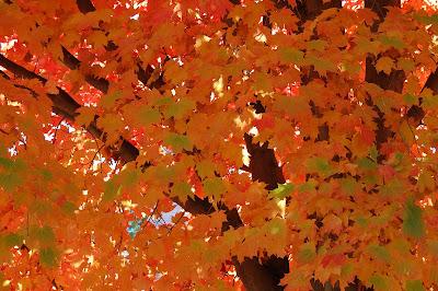Maple tree turning orange.