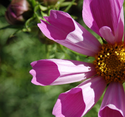 Totally tubular petals on a cosmos flower.